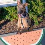 Kuiper has his paws up on a large watermelon memorial. He is smiling.