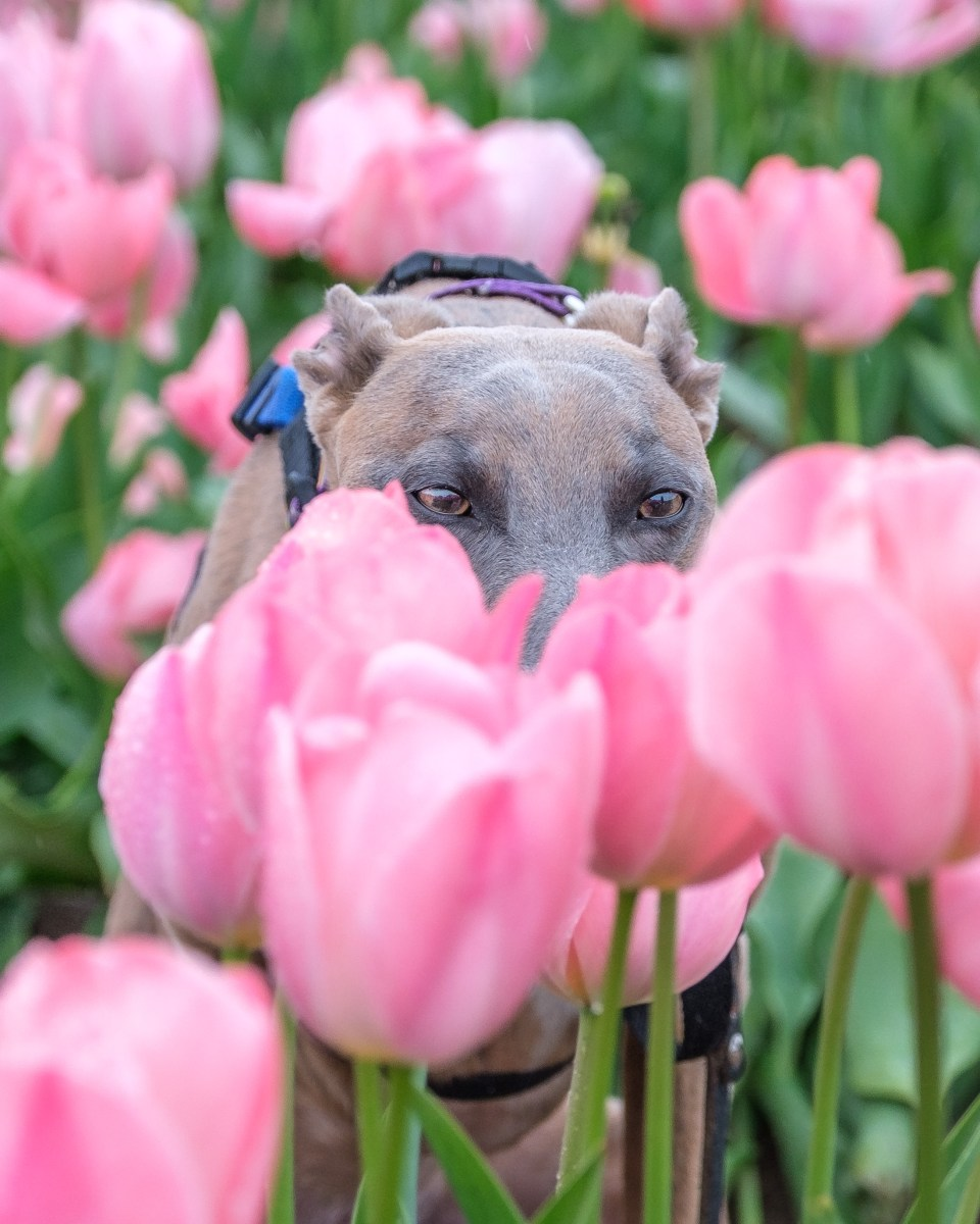 Kuiper attempts to hide behind a tulip. He looks unimpressed.