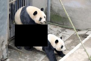 panda_love