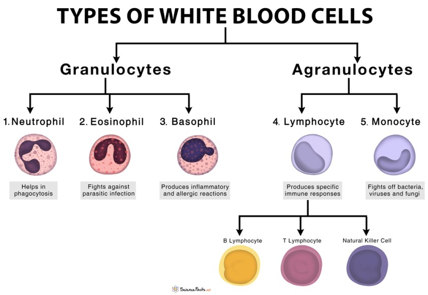Types of White Blood Cells (Leukocytes) with Functions and ...