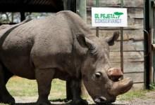Photo of Il rinoceronte bianco non è estinto e quello settentrionale lo è già da tempo.