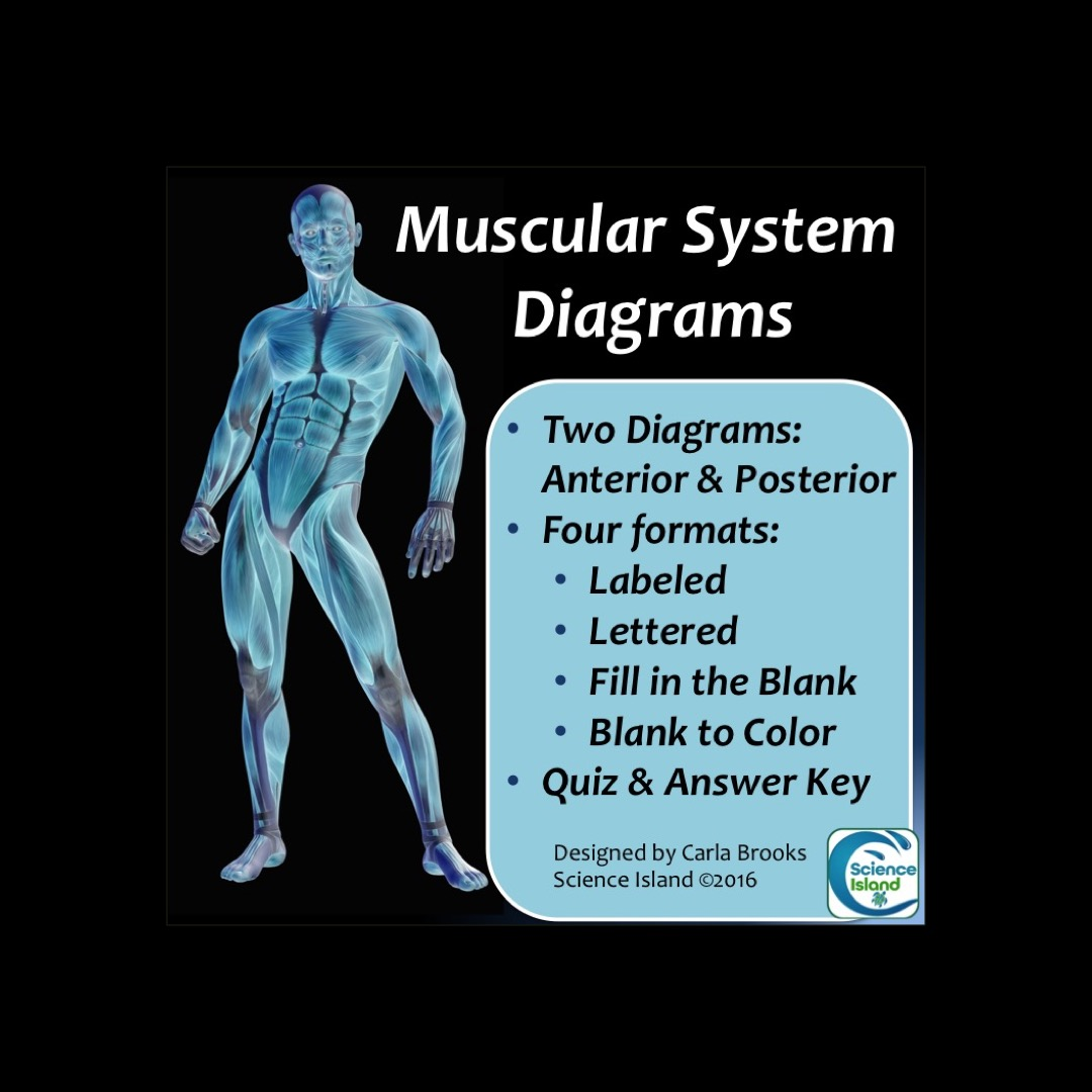Muscular system diagrams science island ccuart Choice Image