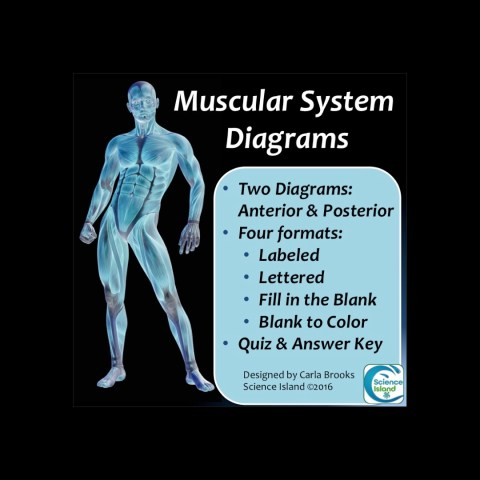 Muscular System Diagrams