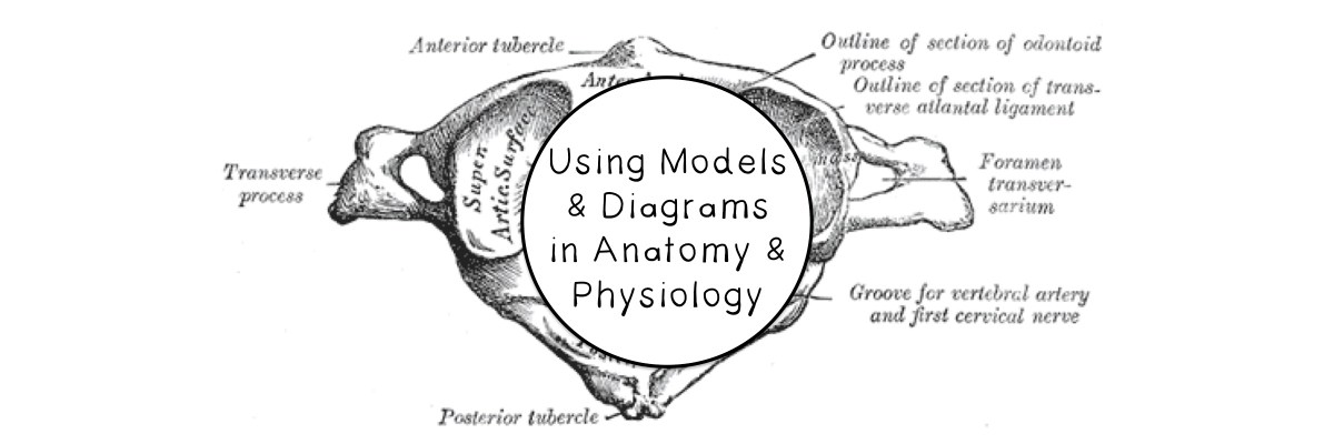 Using Models And Diagrams In Anatomy Physiology Science Island