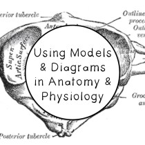 Using Models and Diagrams in Anatomy & Physiology