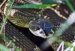 """Northern Pacific Rattlesnake"" by Allie_Caulfield / CC BY 2.0*"