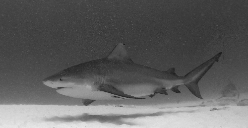 Diving with Bull Sharks – Science Juice