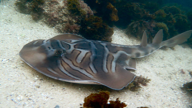 Eastern Fiddler Ray