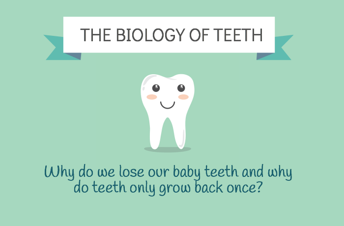 The Biology of Human Teeth : Baby and Permanent [infographic] Why Do We Lose Our Baby Teeth and Why Do They Only Grow Back Once?
