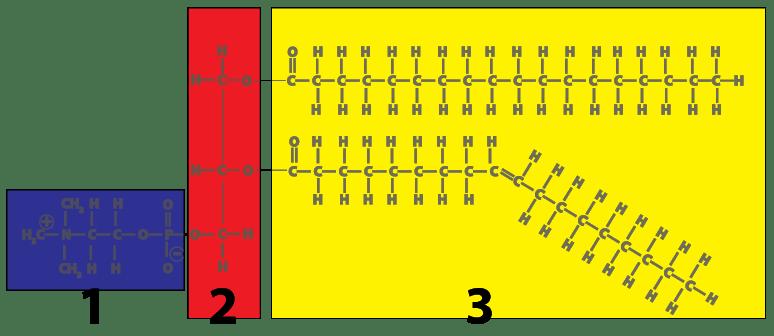 Membranes Interactive Tutorial 1 The Phospholipid Bilayer