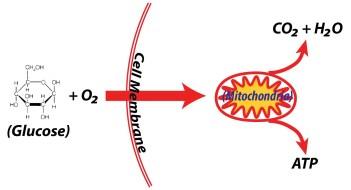 aerobic respiration equation. aerobic respiration requires oxygen equation