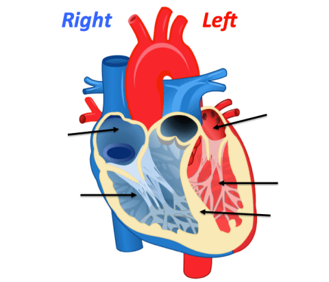 heart anatomy quizzes and flashcards sciencemusicvideos : interactive heart diagram - findchart.co