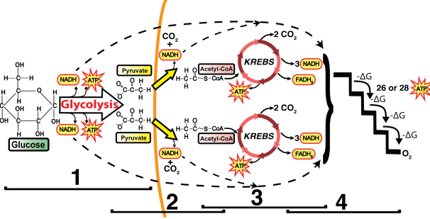 The electron transport chain and oxidative phosphorylation ap bio the electron transport chain and oxidative phosphorylation ap bio interactive tutorial ccuart Images