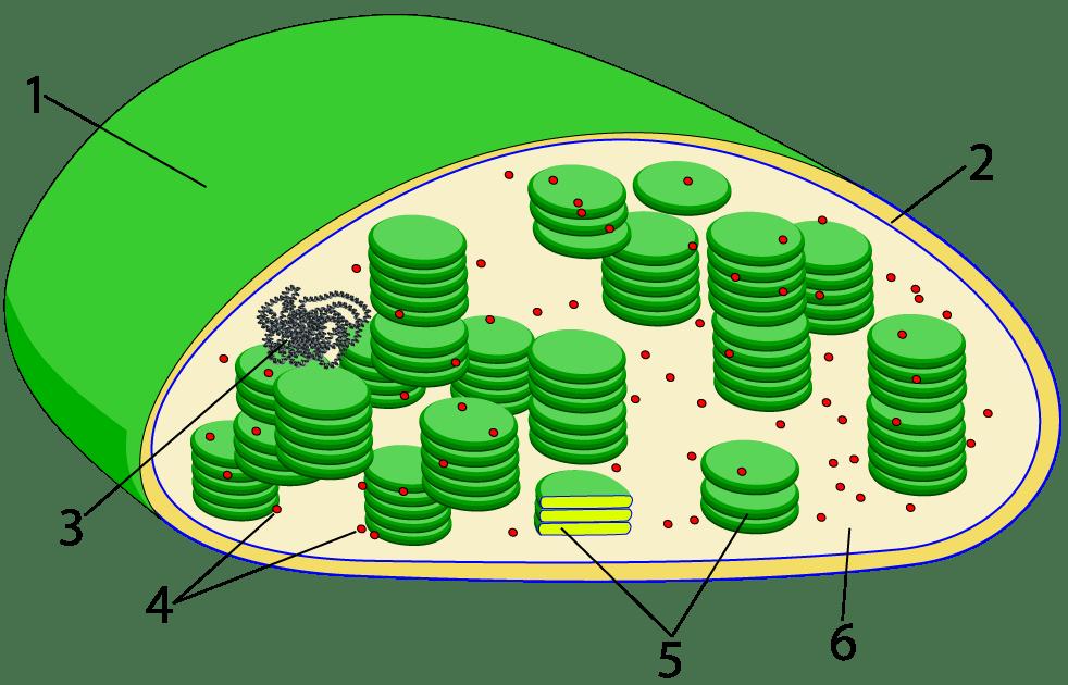 Chloroplast Diagram Unlabeled Circuit Wiring And Diagram Hub