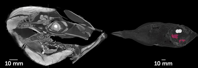 fish mouth CT scan