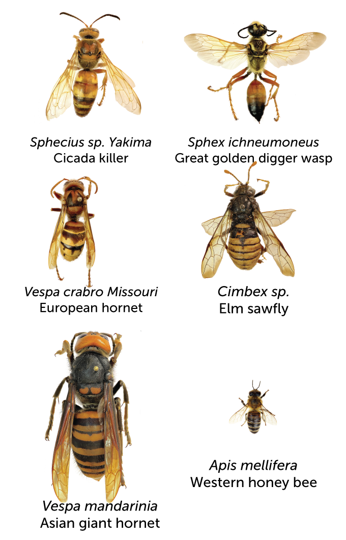 Wasps, bees and hornets size chart