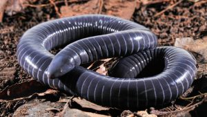 a ringed caecilian
