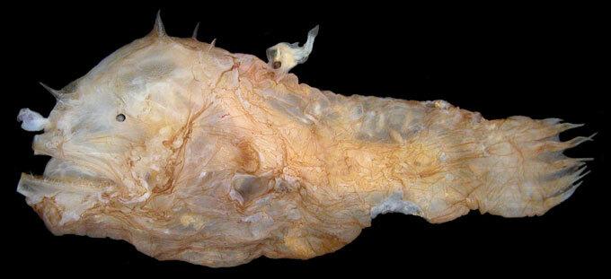 Photocorynus spiniceps female