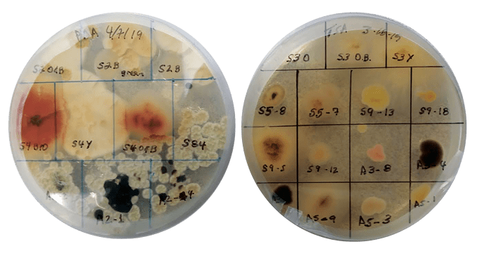 two petri dishes with smoke microbe samples