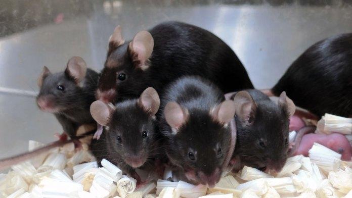 uzay radyasyonuna maruz kalan bir grup fare