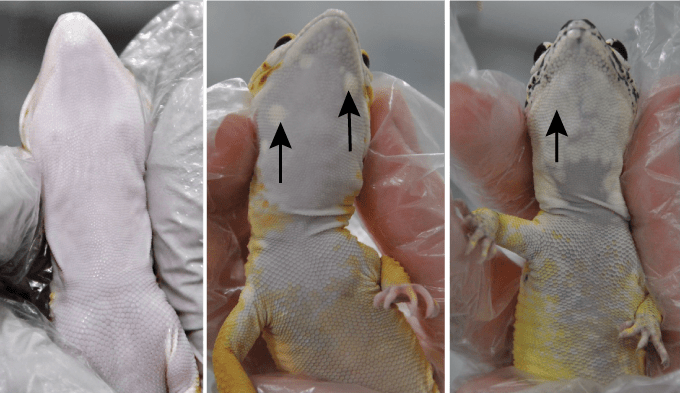 images of the undersides of a non-Lemon Frost gecko and two Lemon Frost geckos
