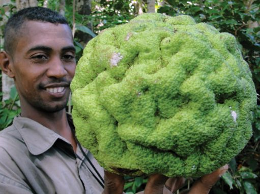 A man holding a Treculia fruit