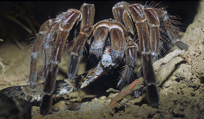 Goliath birdeater tarantula, standing in dirt, feeds on a common lancehead snake