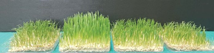 four patches of barley grass treated with different levels of plasma