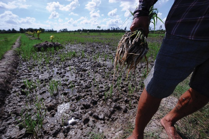 a farmer's hand holding dead rice plants being pulled from a paddy