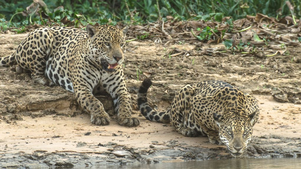 two jaguars lying on the shore