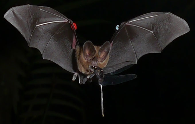 a bat flying with a dragonfly in its mouth