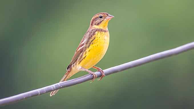 a photo of a yellow-breasted bunting on a wire