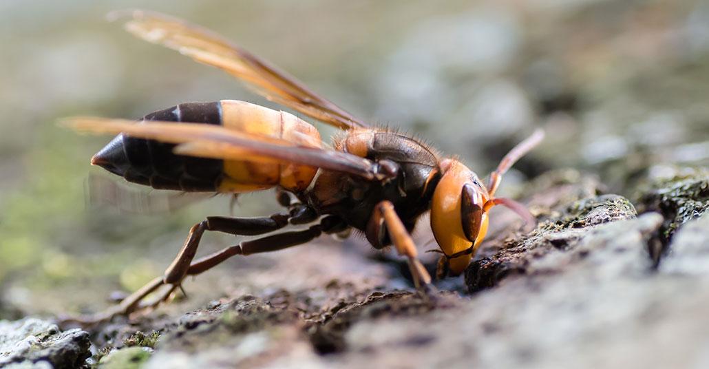 a macro photo of a giant Asian hornet (Vespa soror)