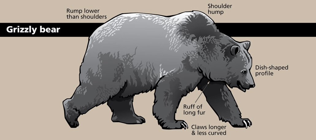 an illustration of a grizzly bear