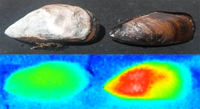 a photo of a whitened mussel and a non whitened mussel and a thermal image of both mussels