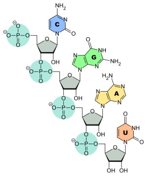 Ribonucleic Acid (RNA) Structure & Function