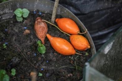 Des fruits de l'iboga photographiés le 17 février 2018 à Libreville.  (AFP - STEVE JORDAN)
