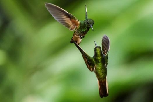 Deux colibris flavescents dans la forêt de San Antonio en Colombie, le 1er mars 2018 (AFP - Luis ROBAYO)
