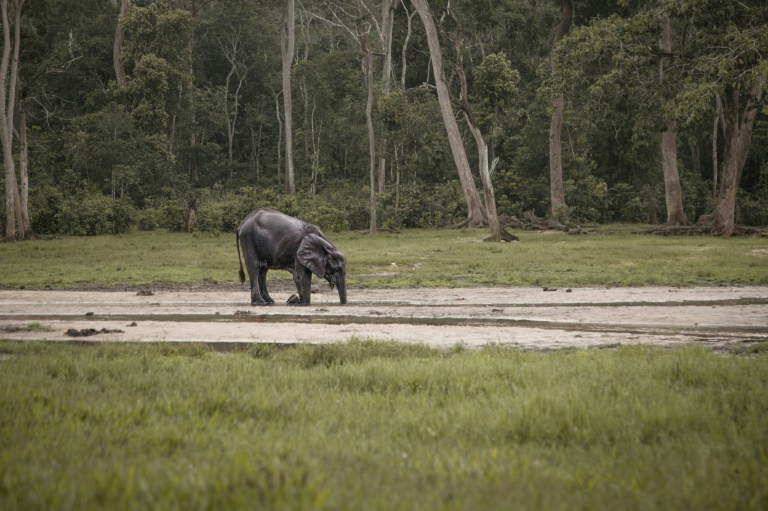 Elephant in the Bayanga Forest in April 2019 in the Central African Republic (AFP / Archive - FLORENT VERGNES)