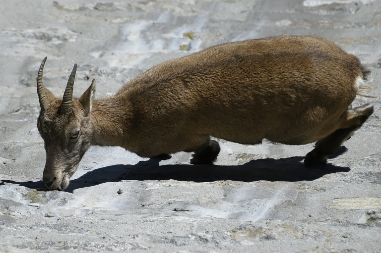 Alpine ibex in September 2014 near Antrone Piane, Italy (AFP / Archive - OLIVIER MORIN)