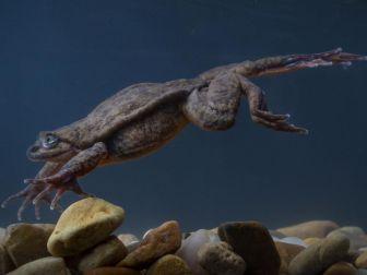 La grenouille Juliette dans son aquarium