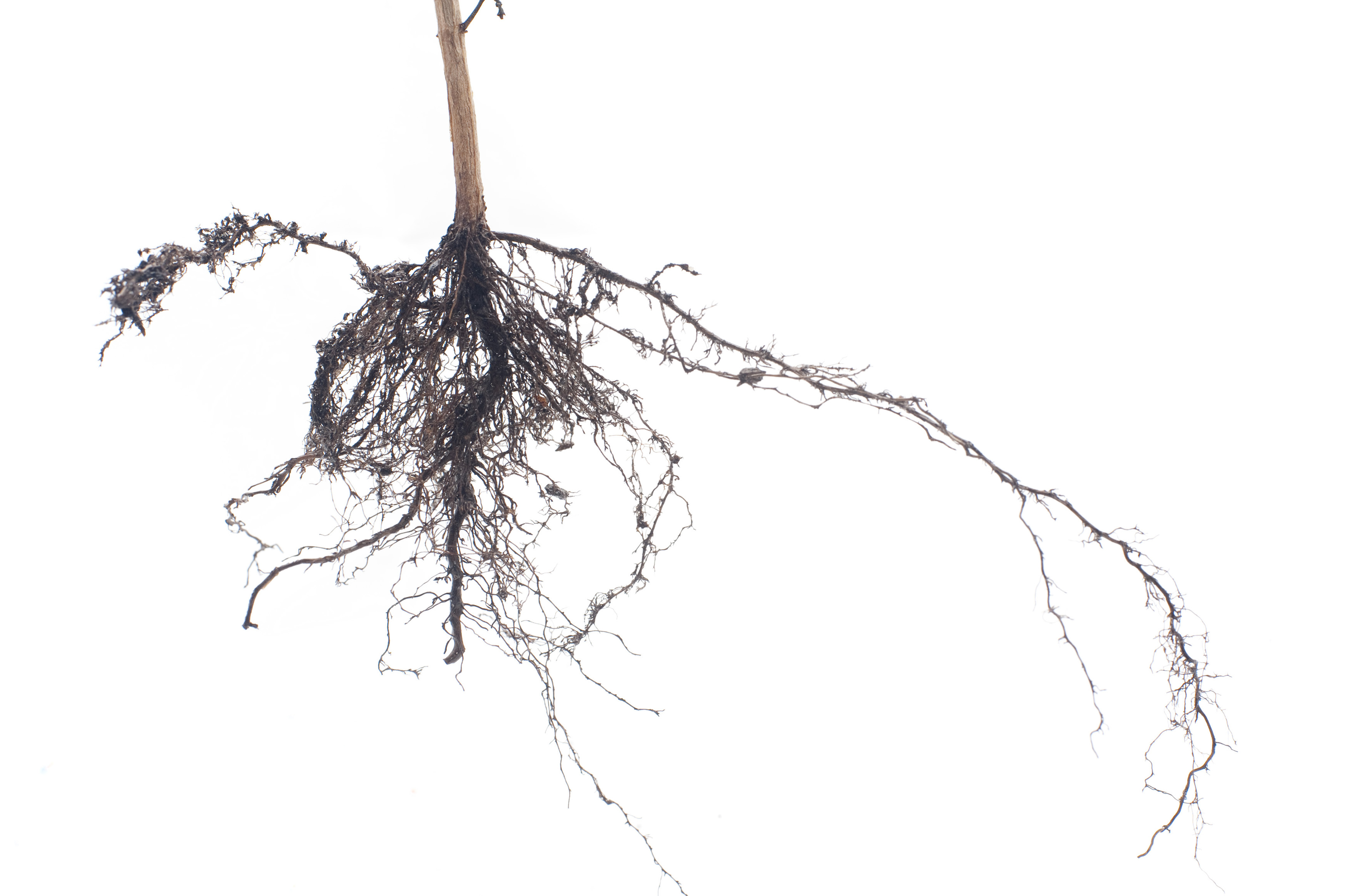 Free Stock Image Of Fibrous Root System On A Plant