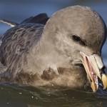 Amerikaanse vogelmaag bevat schrikbarend veel plastic