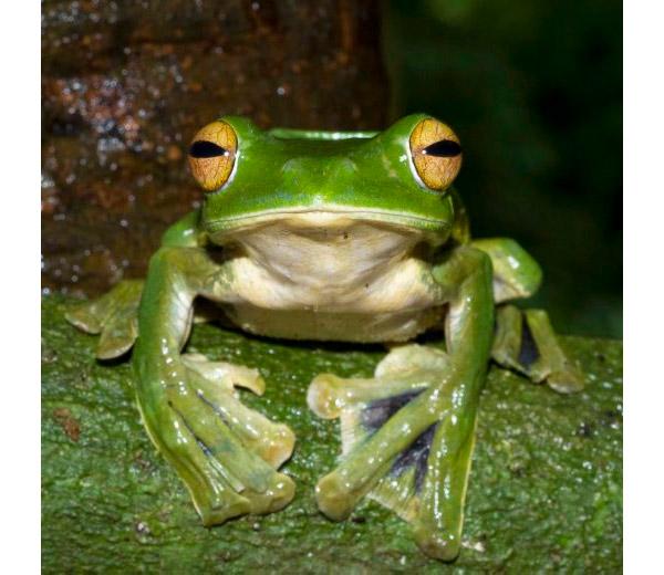 R. helenae. Foto: