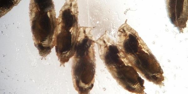 Wespenlarven voeden zich van binnenuit met de larven van fruitvliegjes. Foto: Todd Schlenke.
