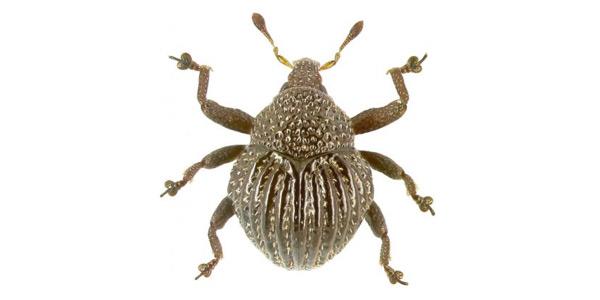 Trigonopterus echinus