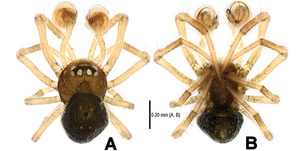 Mannetjes Mysmena wawuensis van de boven- en onderkant. Afbeelding: Lin, Y, Li, S. (2013) Two new species of the genera Mysmena and Trogloneta (Mysmenidae, Araneae) from Southwestern China. Zookeys 303: doi: 10.3897/zookeys.303.4808