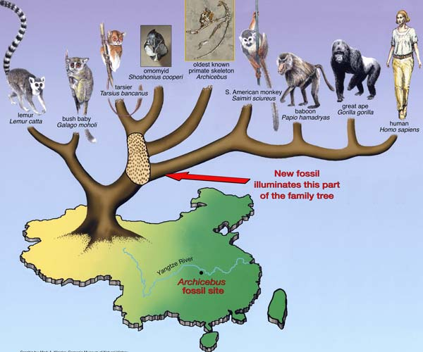 De vondst geeft ons meer duidelijkheid over de evolutie van primaten en mensen. Afbeelding: M.A. Klingler / Carnegie Museum of Natural History.