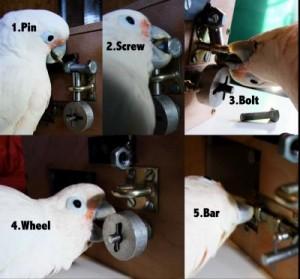 Kaketoe Pipin kraakt het slot door vijf stappen op de juiste manier uit te voeren.