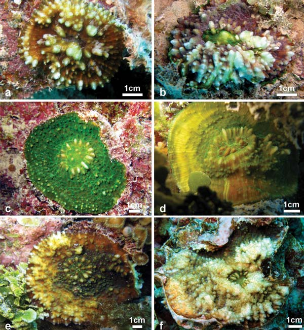Echinophyllia tarae. Afbeeldingen: Benzoni F (2013) Echinophyllia tarae sp. n. (Cnidaria, Anthozoa, Scleractinia), a new reef coral species from the Gambier Islands, French Polynesia. ZooKeys 318: 59–79. doi: 10.3897/zookeys.318.5351.